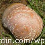 Moniliose-Brown rot
