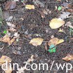 Mulching with chestnut flowers