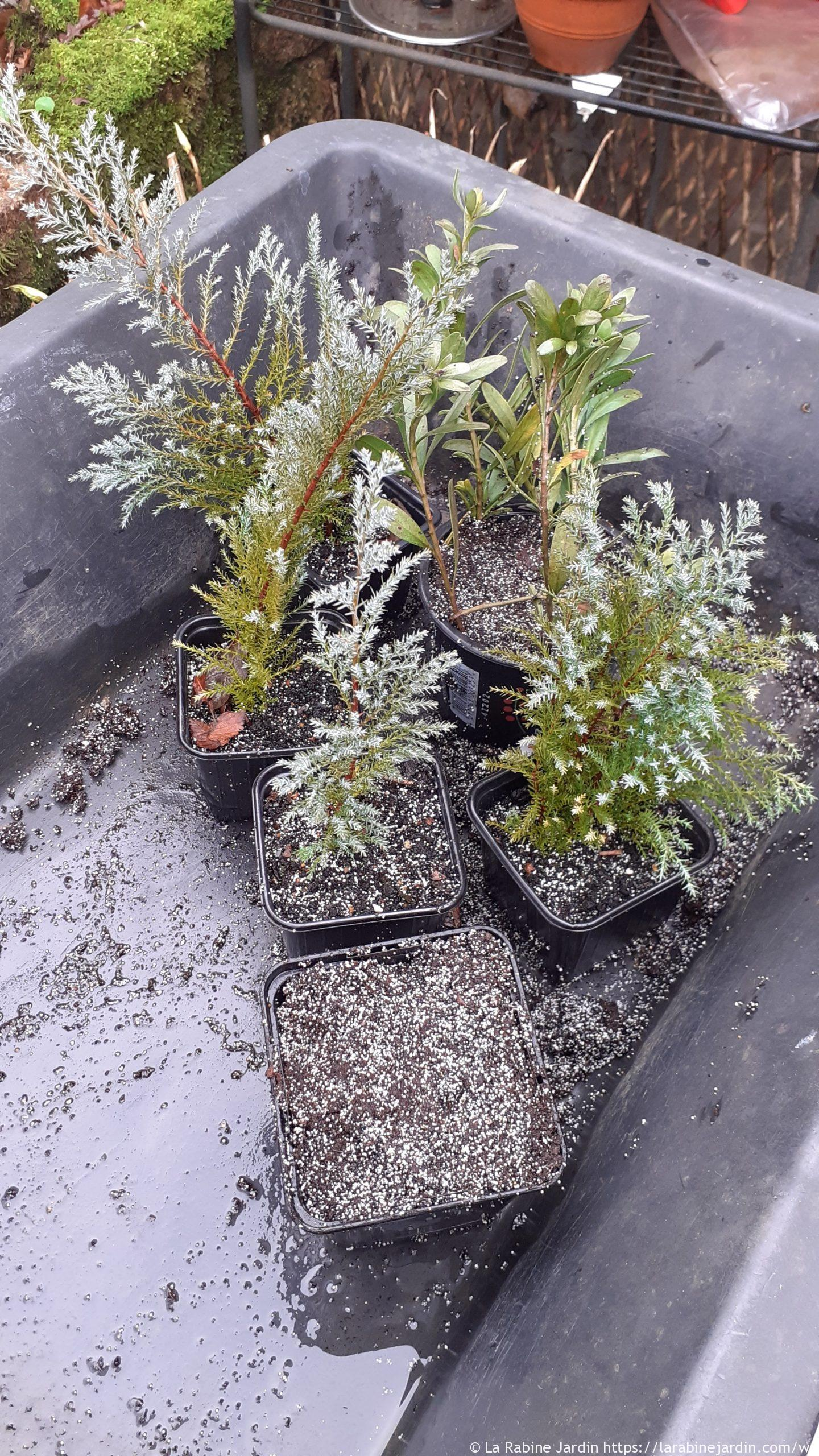 Cuttings placed in pots