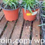 Dianthus with offshoots removed