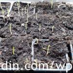Sweet pea seedlings at 8 days