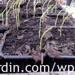 2. Sweet pea seedlings leaning