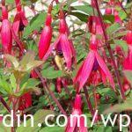 Fuchsia with non-flowering shoot