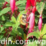 Fuchsia_hardy