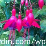Fuchsia_semi-hardy