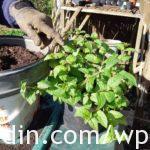 Overwintered Fuchsia