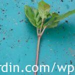 Prepared fuchsia cutting