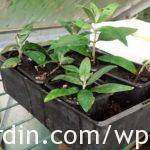 Buddleia softwood cuttings