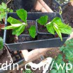 Buddleia_cuttings planted_2