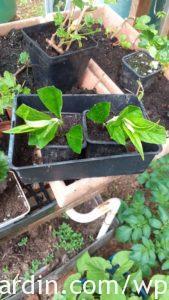Buddleia_cuttings planted_2