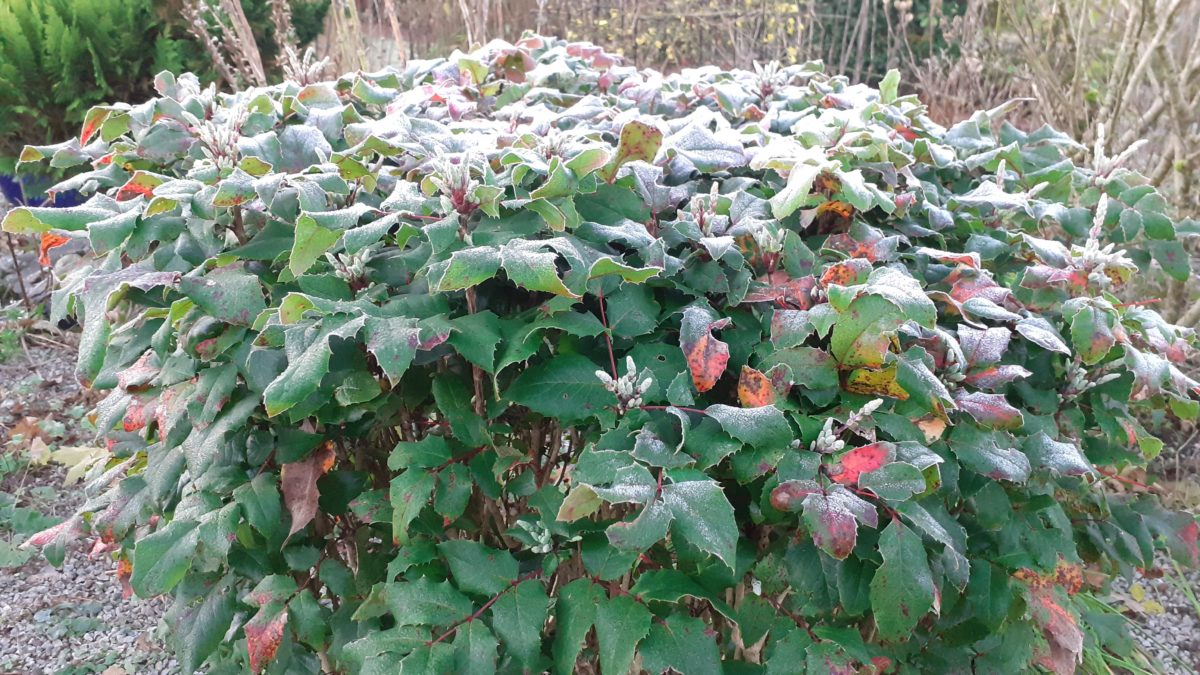 Frost on a Mahonia bush