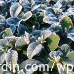 Frosted Euonymus plant
