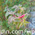 Frosted Fuschia plant