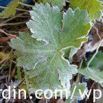 Frosted Geranium plant