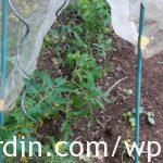 Tomatoes protected from frost with netting