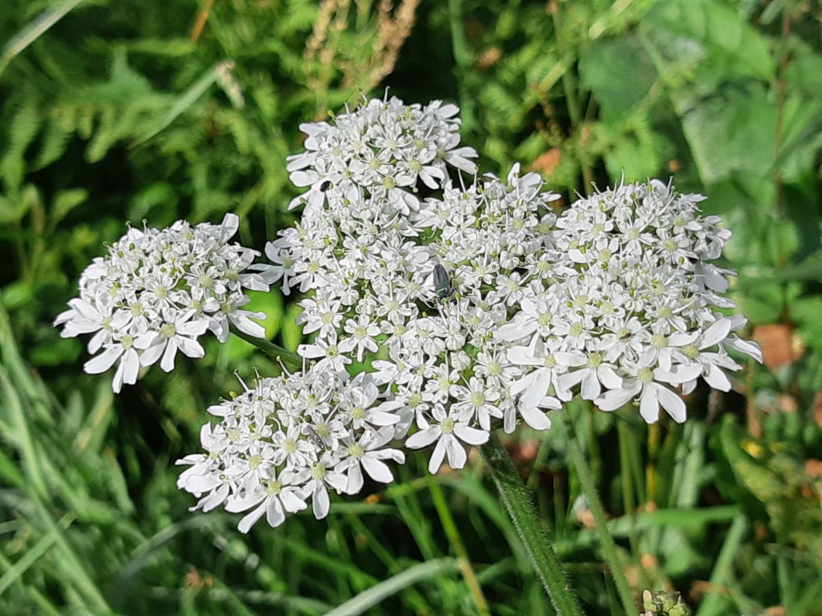 Berce du Caucase - Giant hogweed