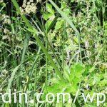 Berce du Caucase - Giant hogweed (2)