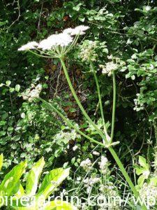 Berce du Caucase - Giant hogweed (3)