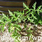 Berce du Caucase - Giant hogweed (5)