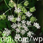 Berce du Caucase - Giant hogweed (7)