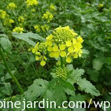 Moutarde blanche_White mustard