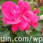 Propagating geraniums 1