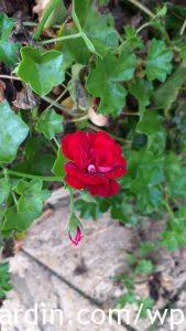 Propagating geraniums 2