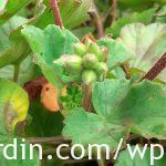Propagating geraniums 4