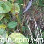 Rose Pruning 1b