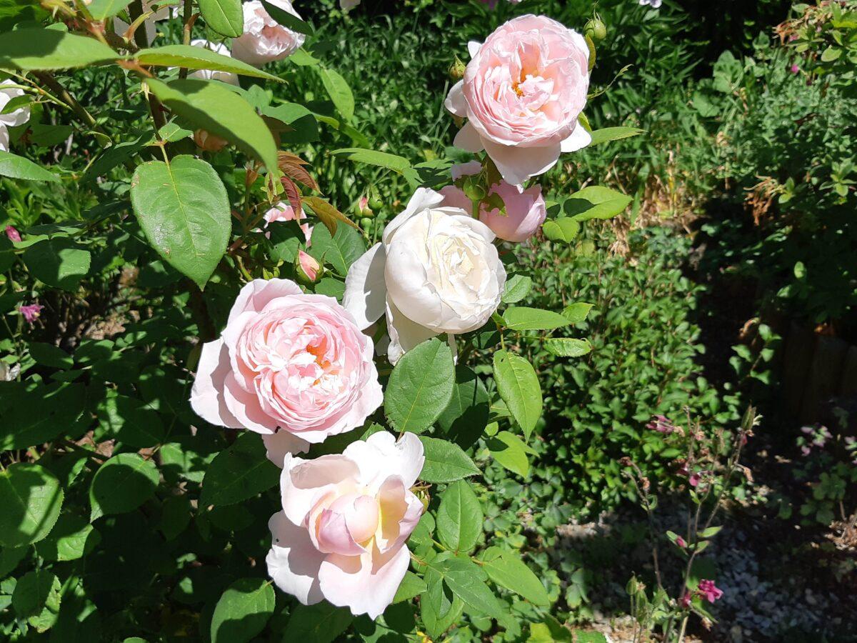 Rose - The Generous Gardener