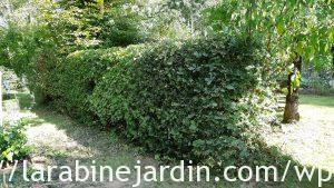 Taille des haies_Hedge trimming_13 sept 20 (2)